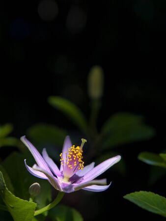 malvaceae: Lavender Star Flower(Grewia occidentalis, Family Malvaceae) blooming like a star