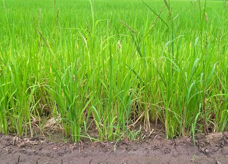 Green field paddy rice with dried and soil photo