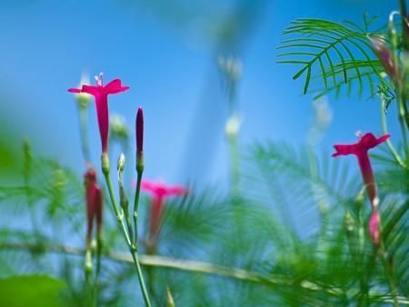 convolvulaceae: Ipomoea quamoclit flowers(cypress vine, cardinal climber, star glory) family Convolvulaceae