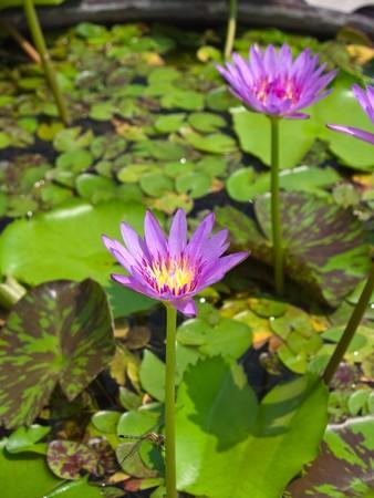 Pink lotus flower blossom with lotus foliage Stock Photo - 7911705