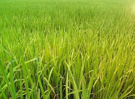 Green field paddy rice with shining golden sunlight photo