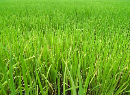 Green field paddy rice before harvest time photo