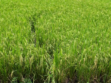 Green field paddy rice with produce grains photo