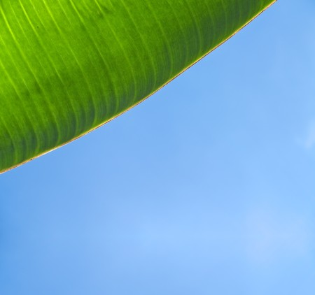 Closeup texture and detail of banana foliage with blue sky photo