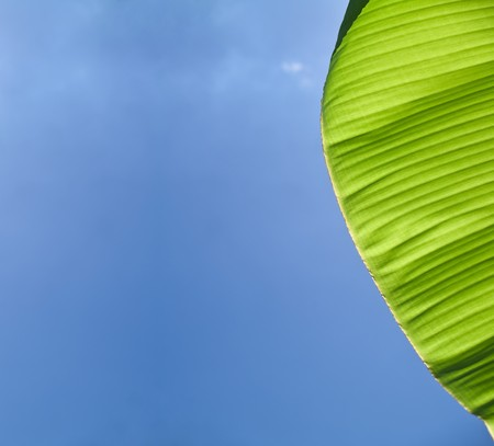 Beautiful banana leafs with texture detail in blue sky photo