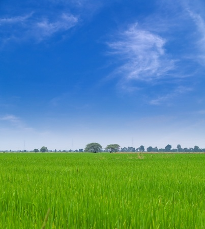 Young paddy field with beautiful blue sky