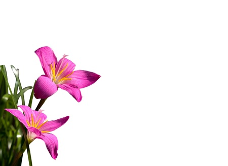 Fadjar's pink blooming(Rain Lily, Fairy Lily, Zephyranthes rosea) isolate on white background Stock Photo - 8293791