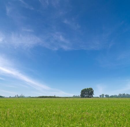 Paddy field with produce grains and beautiful sky photo