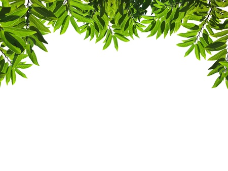 Beautiful green leafs with texture detail isolate on white background