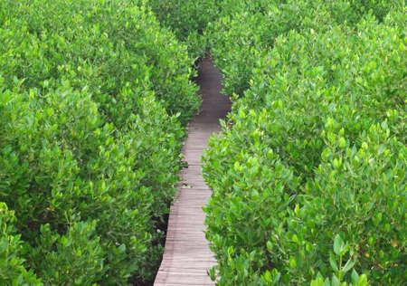 Boardwalk through pass tunnel of mangrove forest in Laem Phak Bia, Ban Laem, Phetchaburi, Thailand photo