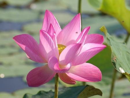 Pink lotus flower blossom with lotus foliage Stock Photo - 8698049