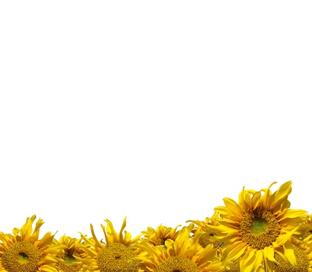 Beautiful frame of colorful yellow sunflowers isolate on white Stock Photo