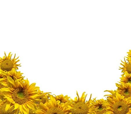 semillas de girasol: Hermoso marco de girasol amarillo colorido aislar en blanco
