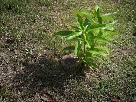 Rebirth of young tree seedling grow from old stump photo