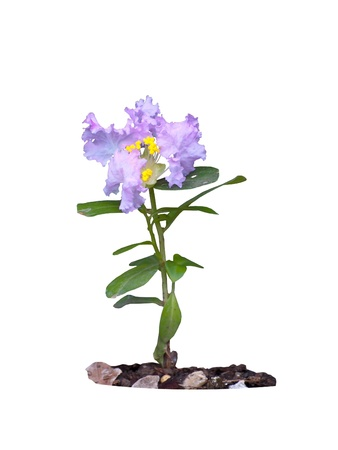Young Lagerstroemia indica(Crape myrtle) family Lythraceae with flower in ground isolated on white photo