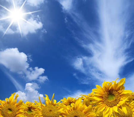 colorful cloudscape: Beautiful yellow sunflowers with blue sky and shining sunlight Stock Photo