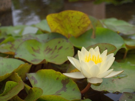 Lotus flower blossom with a lot of foliage Stock Photo - 10338026