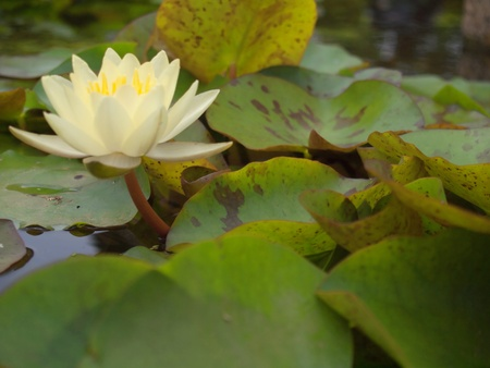 Lotus flower blossom with a lot of foliage Stock Photo - 10338025