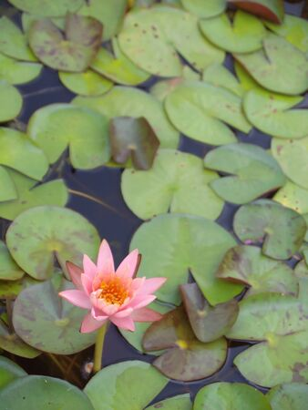 Lotus flower blossom with a lot of foliage Stock Photo - 10338022
