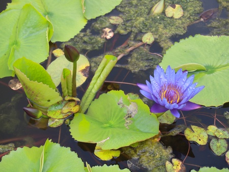 aquatic plants: Lotus flower blossom with a lot of foliage