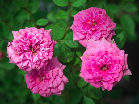 pastil: Sweet and richly scented beautiful miniature rose Stock Photo