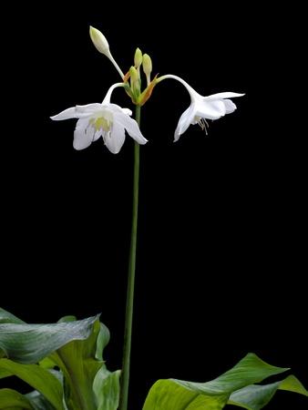 Amazon lily (Eucharis amazonica, Family Amaryllidaceae) beautiful white flower