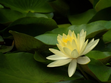 Beautiful yellow lotus flower blossom in garden Stock Photo - 10461335