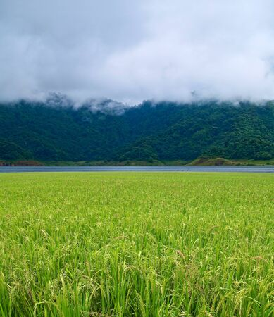 Paddy field with produce grains against lake forest  and misty mountain in morning photo