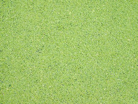 A lot of green duckweed floating on water photo