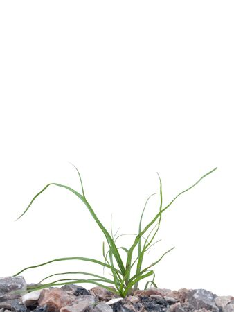 Wild green grass growing on ground Isolated on white Stock Photo - 11153491