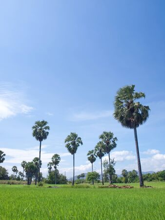 Paddy field with Asian Palmyra palm(Sugar palm) in clear sky photo