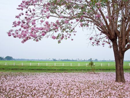 Pink trumpet tree blooming in valentine s day like sweet dream photo