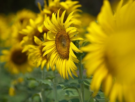 Closeup of sunflower with abstract out of focus foreground and background Stock Photo - 12780827