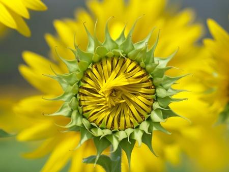 Sunflower bud against sunflower blossoming on background photo