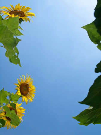 Natural frame of sunflowers with leafs against blue sky with sunshine in look up view from the ground Stock Photo - 12780869