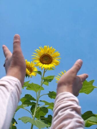 Woman hands reaching out to sunflowers against blue sky with sunshine in look up view from the ground Stock Photo - 12780875