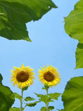 Natural frame of sunflowers with leafs against blue sky in look up view from the ground photo