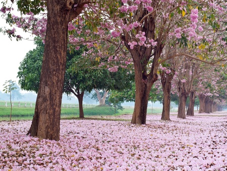 Pink trumpet tree blooming in countryside with farmland on backside(Tabebuia rosea, Family Bignoniaceae, common name Pink trumpet tree, Rosy trumpet tree, Pink Poui, Pink Tecoma) Stock Photo