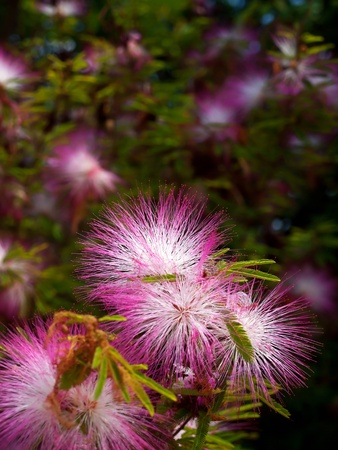 Pink powderpuff blooming like dream Calliandra surinamensis, Family Mimosaceae, common names Pink Powder Puff, Pompon De Marin, Surinam Powderpuff, Surinamese Stickpea  photo