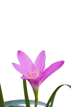 Fadjar s pink Zephyranthes rosea, know as Rain Lily or Fairy Lily  blooming in rainy season Stock Photo - 13100446