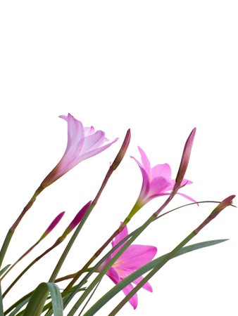 Rain Lily(Fairy Lily) blooming in rainy season, Habranthus brachyandrus with Fadjar's pink(Zephyranthes rosea) Stock Photo - 13493072