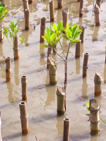 Young mangrove tree bind together cane for reforestation photo