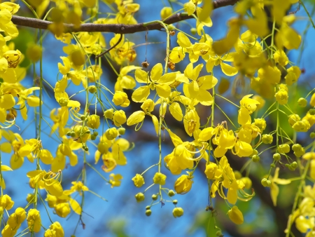 Golden shower tree National Tree of Thailand, Cassia fistula, Family Fabaceae Stock Photo - 13718405