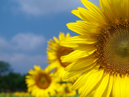 Sunflower field with blue sky in countryside of thailand
