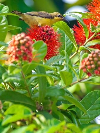 Olive-backed Sunbird  Cinnyris jugularis  standing on Thailand Powderpuff flower  Combretum constrictum  photo
