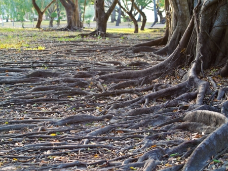 Group of tree with mass root system above the ground in forest photo