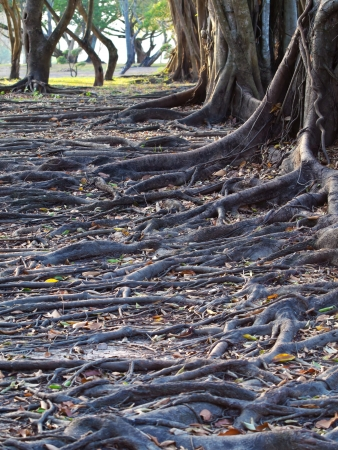 Group of tree with mass root system above the ground in forest Stock Photo - 17328581