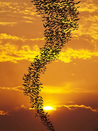 Bats flying againt sun and golden sky may use for horrible theme or halloween theme