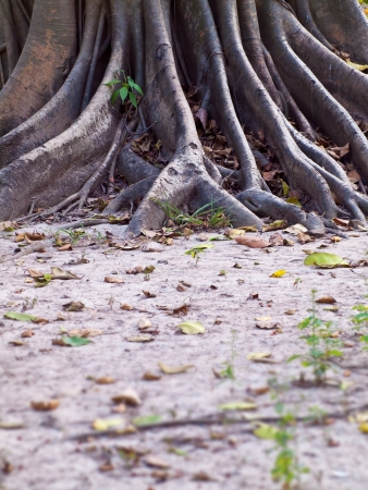 Mass root system above the dry ground Stock Photo - 17709927