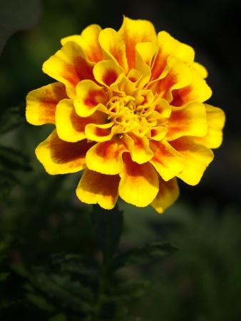 patula: Beautiful flower of french marigold flower  Tagetes patula Family Compositae  Stock Photo